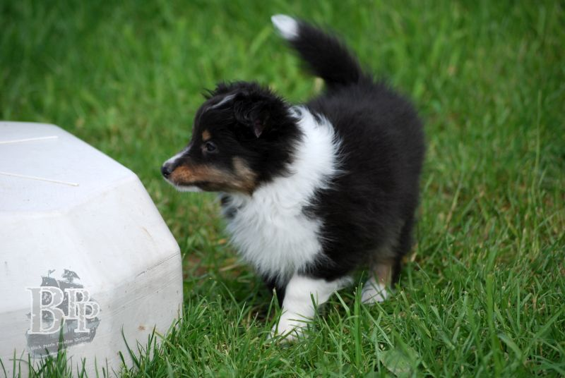 Black_Pearls_Paradise_Shelties_BestOf2018108.jpg