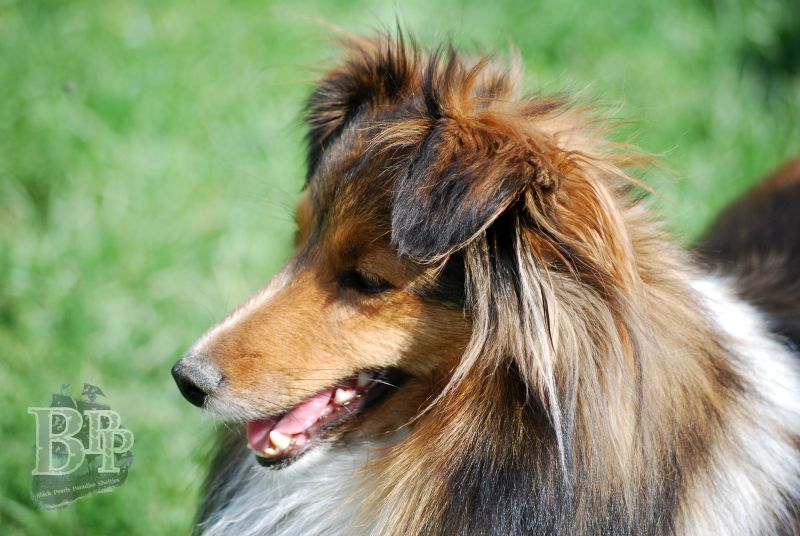 Black_Pearls_Paradise_Shelties_BestOf2018113.jpg