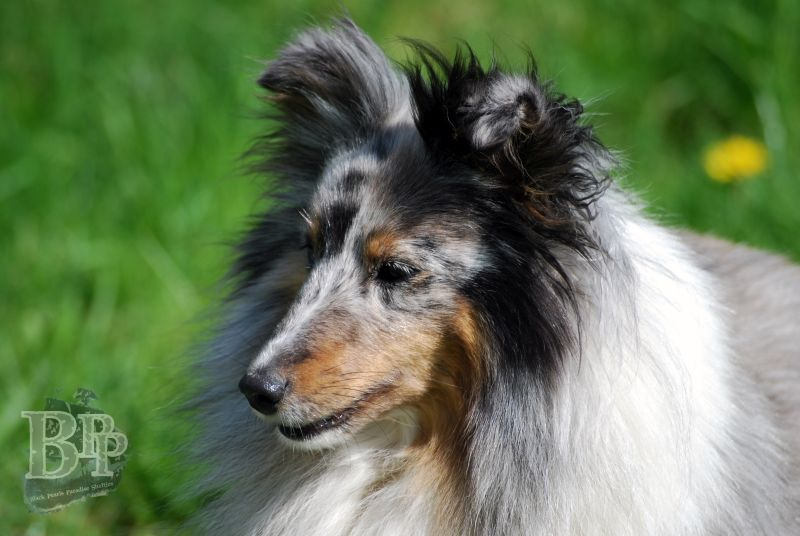 Black_Pearls_Paradise_Shelties_BestOf2018114.jpg