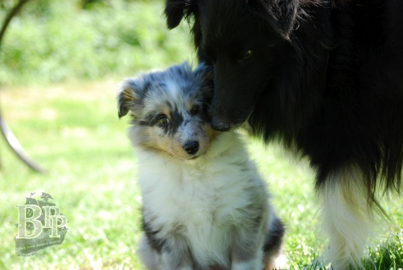 Black_Pearls_Paradise_Shelties_BestOf2018119.jpg