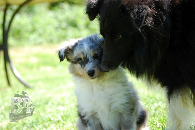 Black_Pearls_Paradise_Shelties_BestOf2018120.jpg