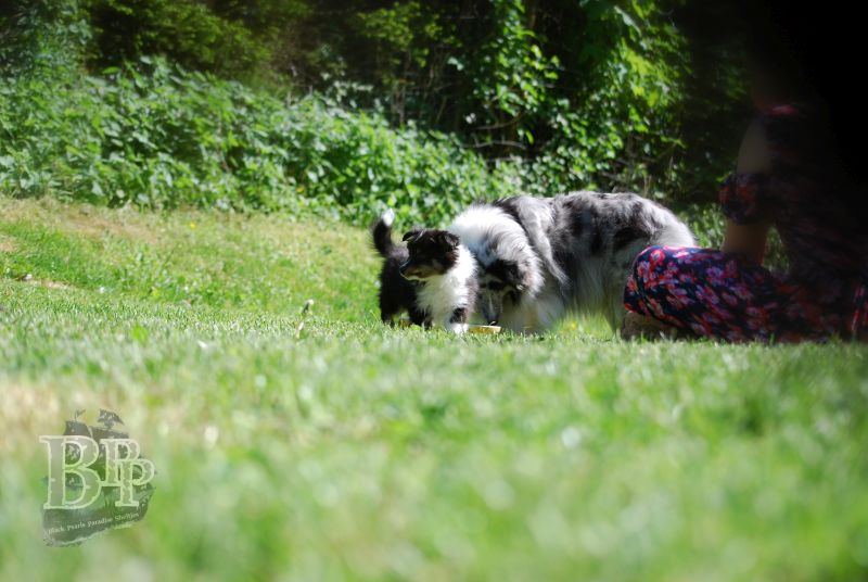 Black_Pearls_Paradise_Shelties_BestOf2018123.jpg