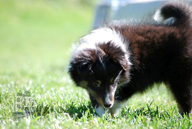 Black_Pearls_Paradise_Shelties_BestOf2018133.jpg