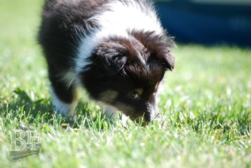 Black_Pearls_Paradise_Shelties_BestOf2018134.jpg