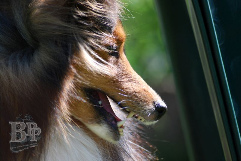 Black_Pearls_Paradise_Shelties_BestOf2018148.jpg