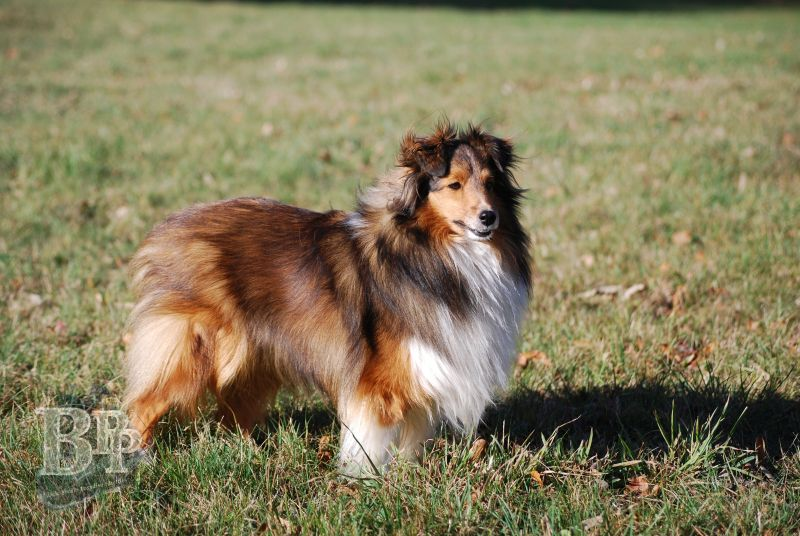 Black_Pearls_Paradise_Shelties_BestOf201815.jpg