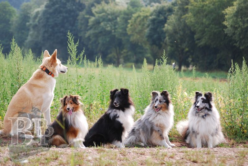 Black_Pearls_Paradise_Shelties_BestOf2018151.jpg