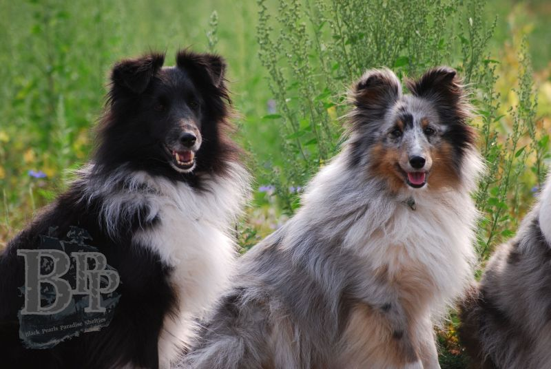Black_Pearls_Paradise_Shelties_BestOf2018154.jpg