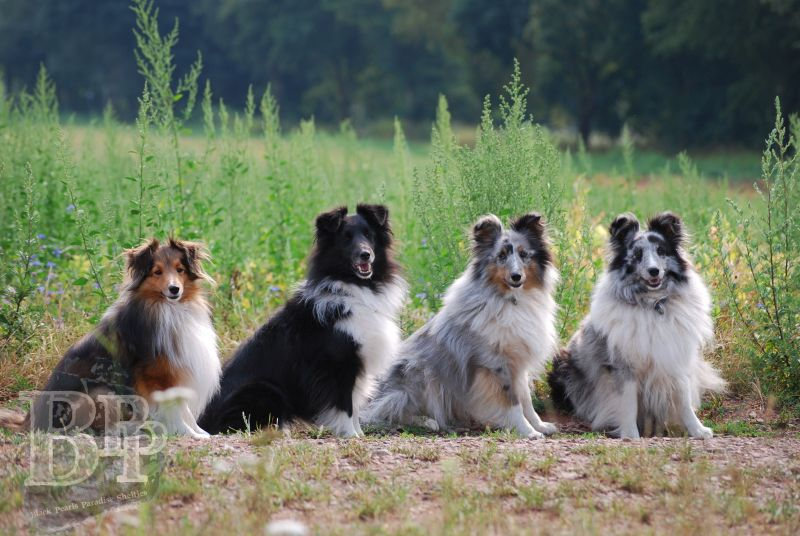 Black_Pearls_Paradise_Shelties_BestOf2018157.jpg