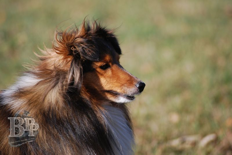 Black_Pearls_Paradise_Shelties_BestOf201816.jpg