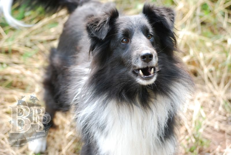 Black_Pearls_Paradise_Shelties_BestOf2018160.jpg