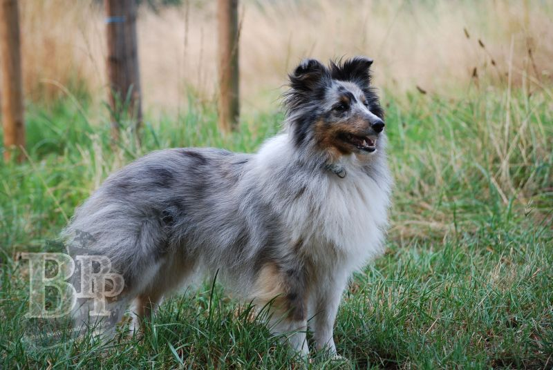 Black_Pearls_Paradise_Shelties_BestOf2018165.jpg