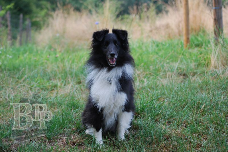 Black_Pearls_Paradise_Shelties_BestOf2018167.jpg