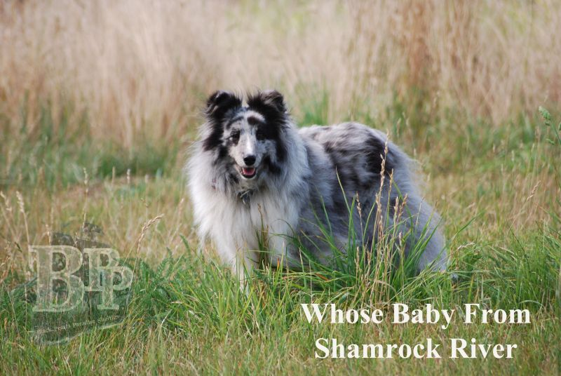 Black_Pearls_Paradise_Shelties_BestOf2018170.jpg