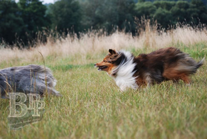 Black_Pearls_Paradise_Shelties_BestOf2018172.jpg