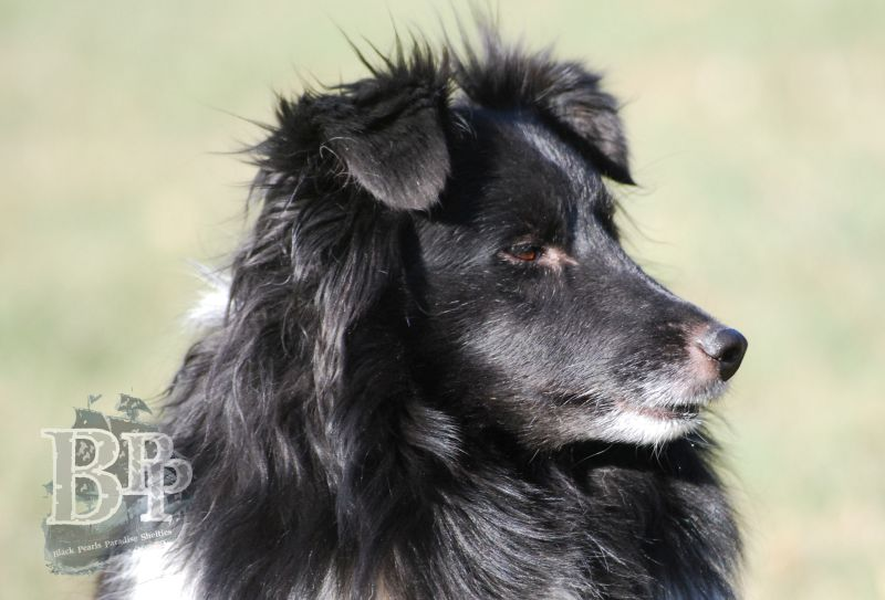 Black_Pearls_Paradise_Shelties_BestOf201818.jpg