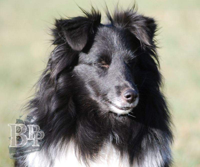 Black_Pearls_Paradise_Shelties_BestOf201819.jpg