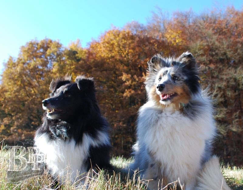 Black_Pearls_Paradise_Shelties_BestOf20182.jpg