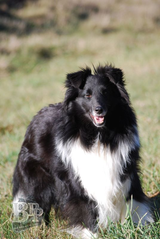 Black_Pearls_Paradise_Shelties_BestOf201820.jpg