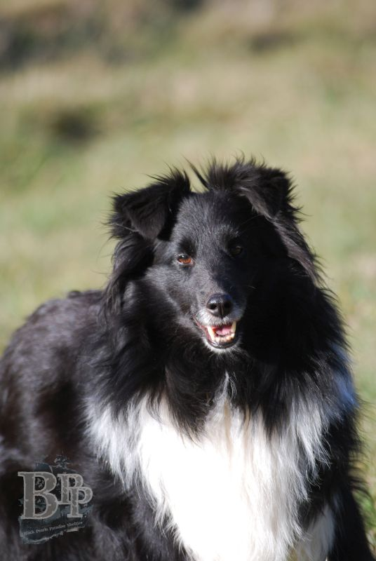Black_Pearls_Paradise_Shelties_BestOf201822.jpg