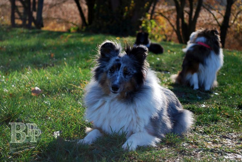 Black_Pearls_Paradise_Shelties_BestOf20183.jpg