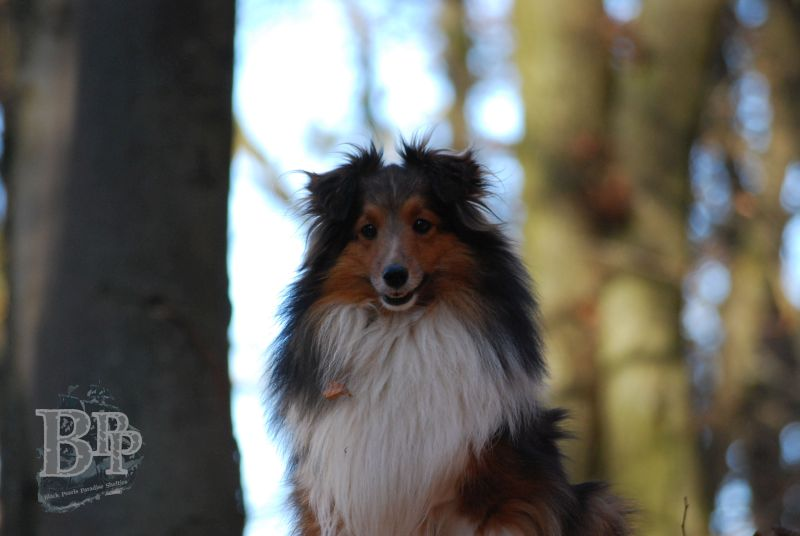 Black_Pearls_Paradise_Shelties_BestOf201830.jpg