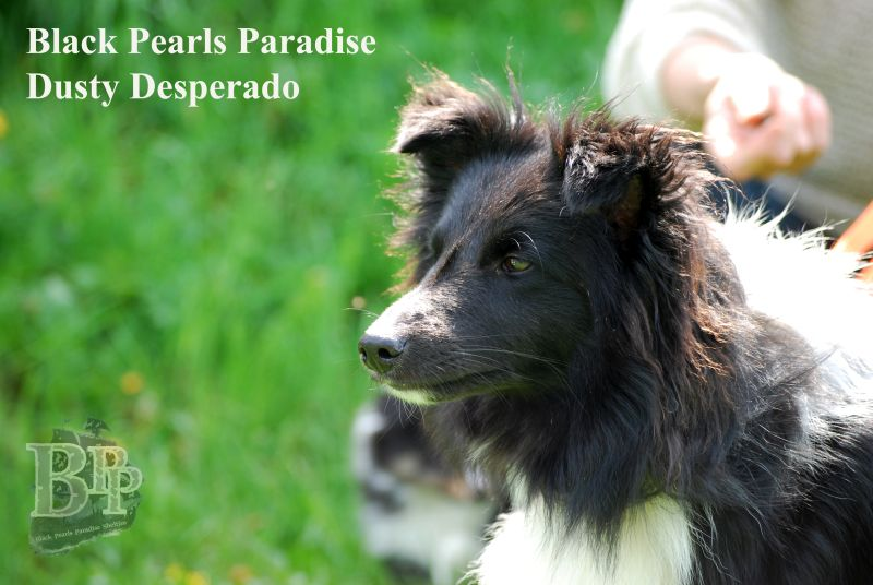 Black_Pearls_Paradise_Shelties_BestOf201876.jpg