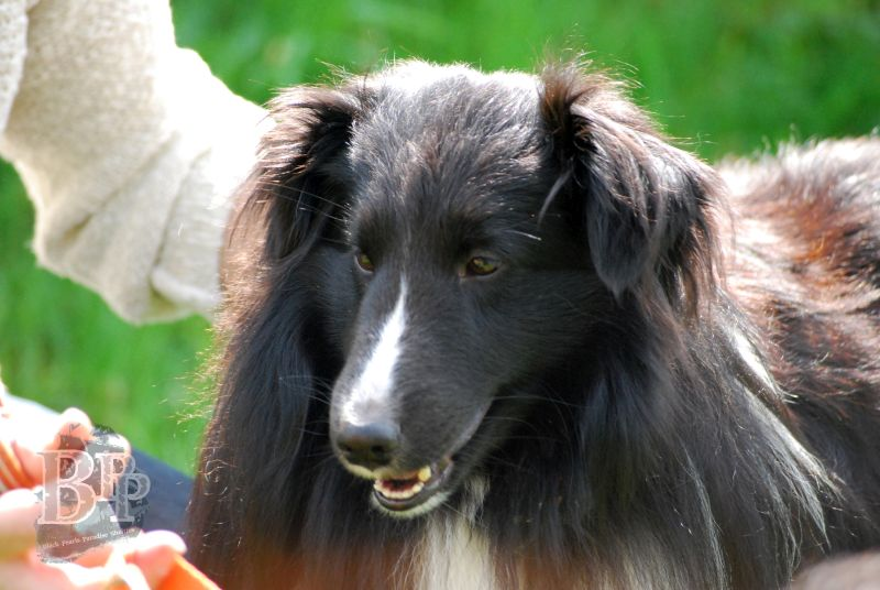 Black_Pearls_Paradise_Shelties_BestOf201877.jpg