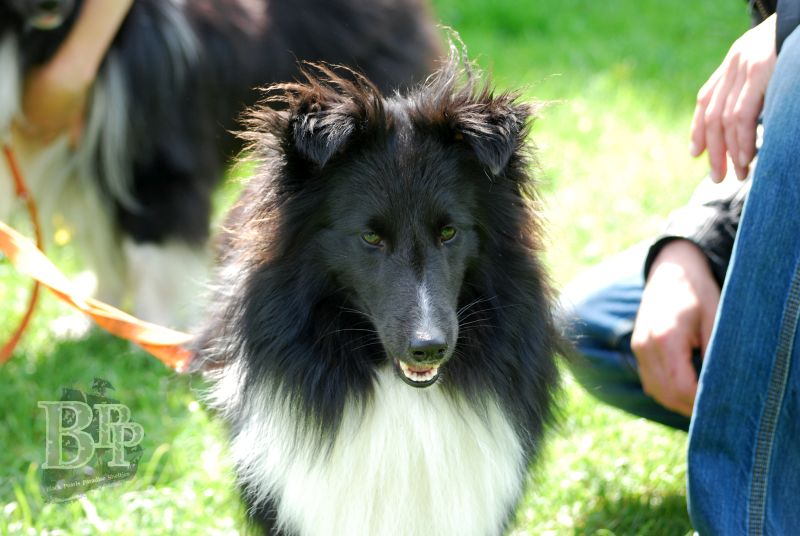 Black_Pearls_Paradise_Shelties_BestOf201878.jpg