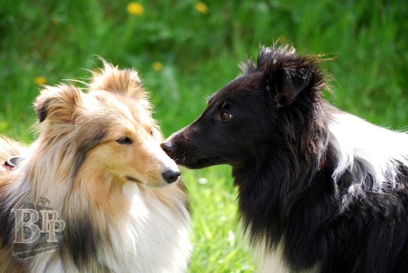 Black_Pearls_Paradise_Shelties_BestOf201885.jpg