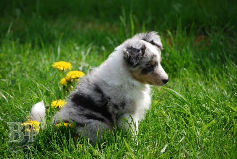 Black_Pearls_Paradise_Shelties_BestOf201887.jpg
