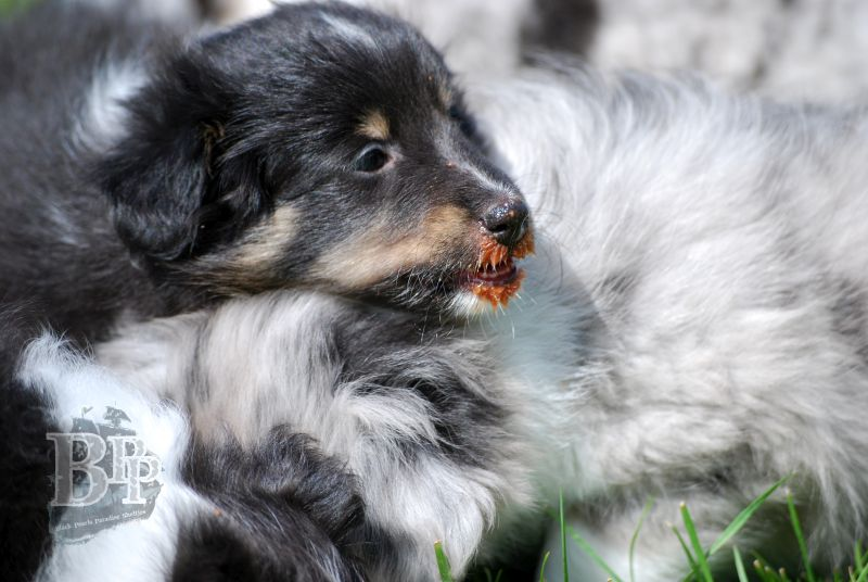 Black_Pearls_Paradise_Shelties_BestOf201893.jpg