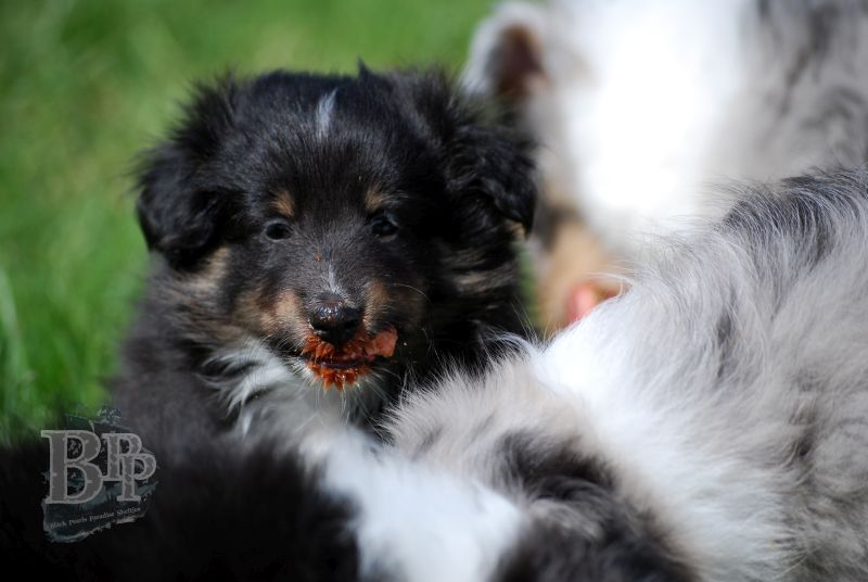 Black_Pearls_Paradise_Shelties_BestOf201895.jpg