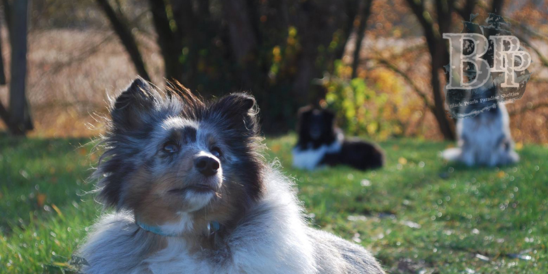images/Inhalte/header-blueberry-shelties-of-blackpearlsparadise.jpg