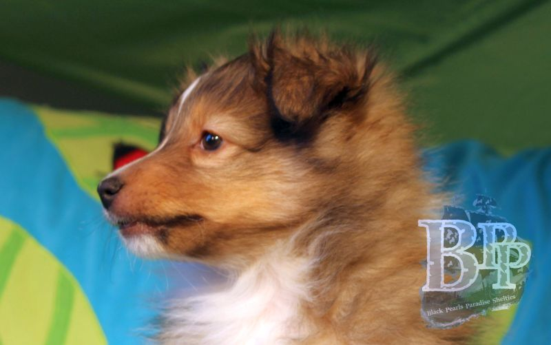 Black_Pearls_Paradise_Shelties_C-Wurf_800X400_15.jpg