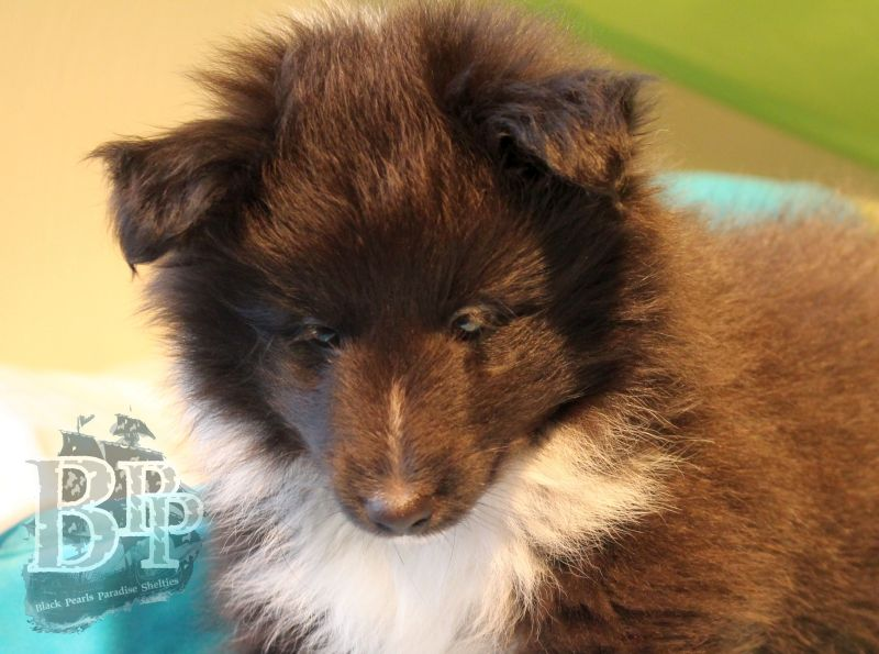 Black_Pearls_Paradise_Shelties_C-Wurf_800X400_16.jpg