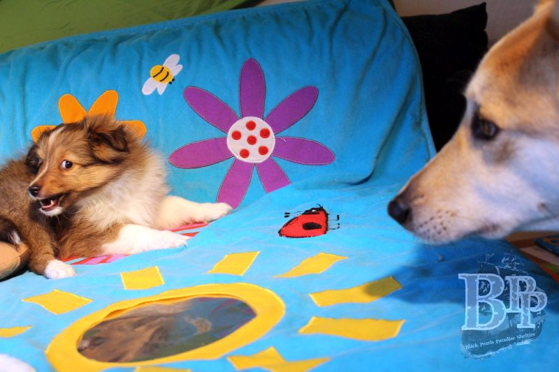 Black_Pearls_Paradise_Shelties_C-Wurf_800X400_17.jpg