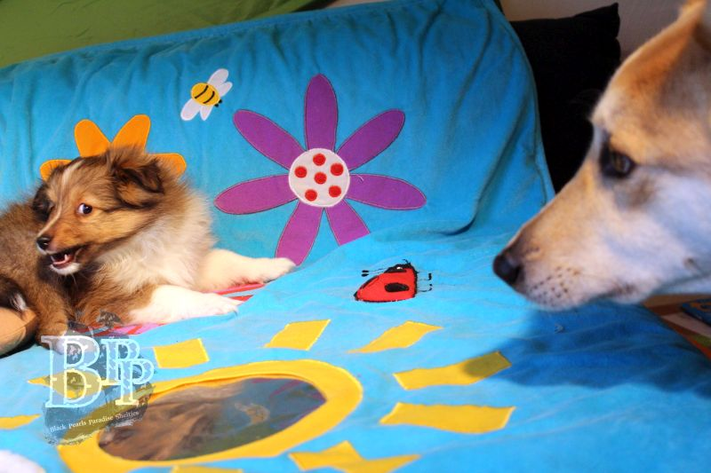 Black_Pearls_Paradise_Shelties_C-Wurf_800X400_35.jpg