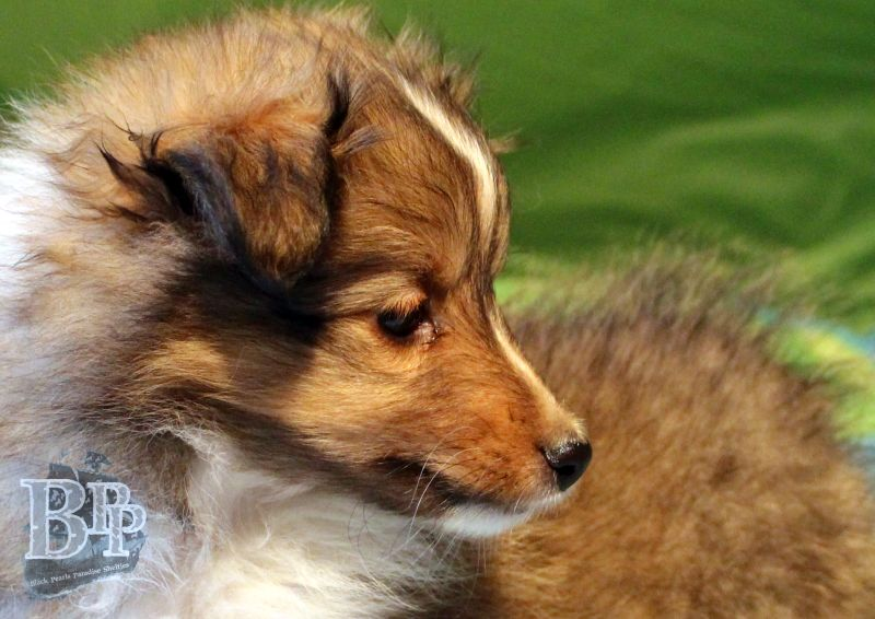 Black_Pearls_Paradise_Shelties_C-Wurf_800X400_5.jpg