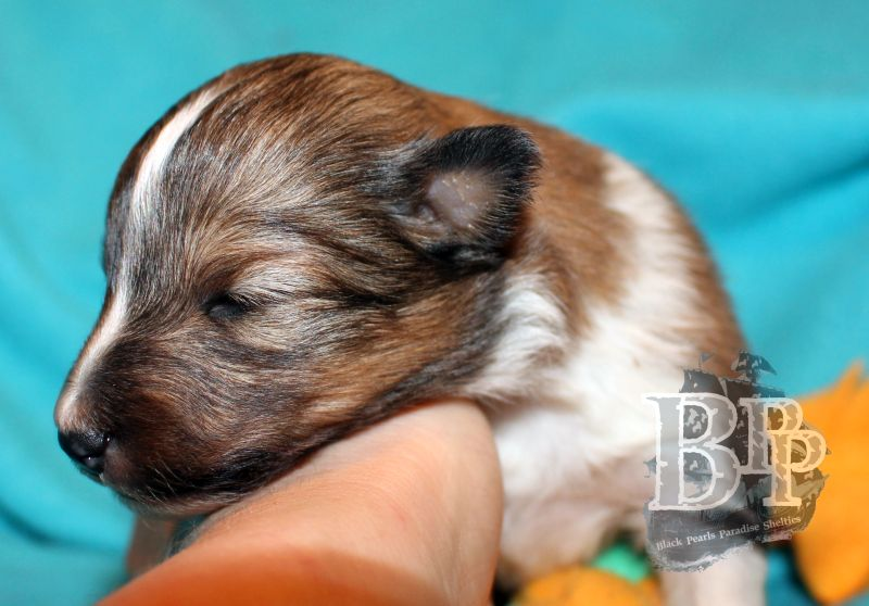 Black_Pearls_Paradise_Shelties_C-Wurf_800X400_56.jpg