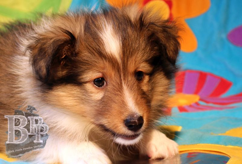 Black_Pearls_Paradise_Shelties_C-Wurf_800X400_6.jpg