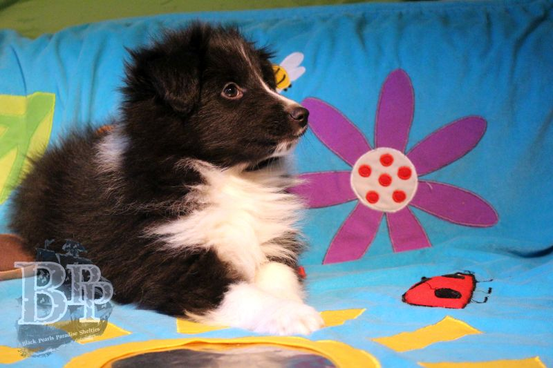 Black_Pearls_Paradise_Shelties_C-Wurf_800X400_68.jpg