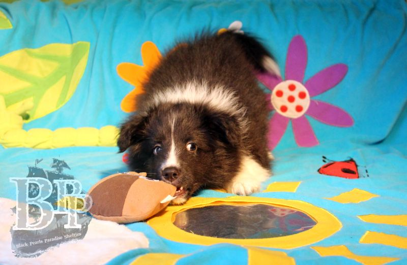 Black_Pearls_Paradise_Shelties_C-Wurf_800X400_70.jpg