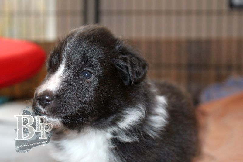 Black_Pearls_Paradise_Shelties_C-Wurf_800X400_74.jpg