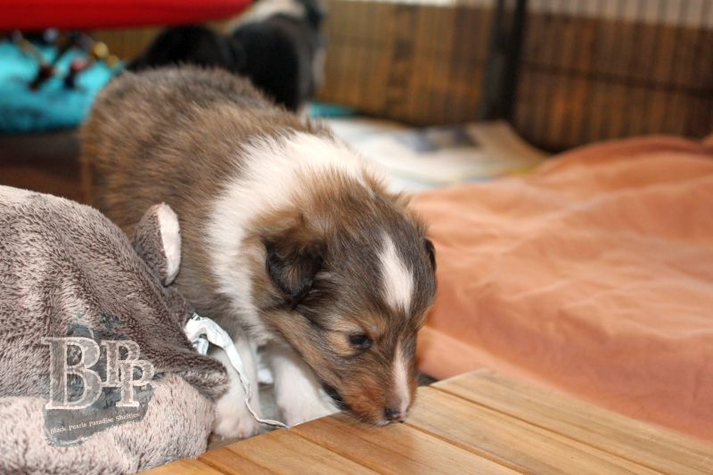 Black_Pearls_Paradise_Shelties_C-Wurf_800X400_75.jpg