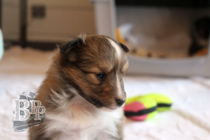 Black_Pearls_Paradise_Shelties_C-Wurf_800X400_76.jpg