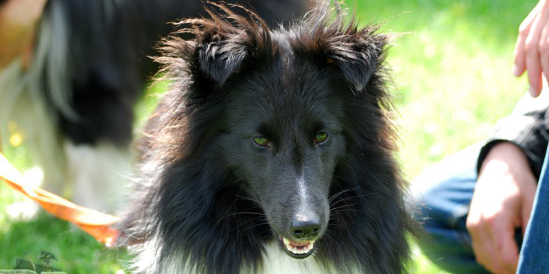 images/header-animira-sheltiezucht-dusty2.jpg
